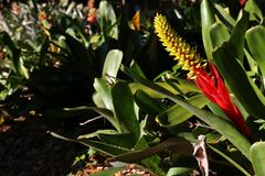 Fleur rouge et jaune de bromélia scintillant dans Sun photos libres de droits