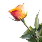 Fleur rouge et jaune humide de rose d'isolement Photos stock