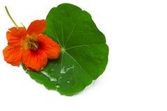 Fleur rouge et lame verte Images libres de droits