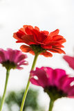 Fleur rouge et orange Photo stock