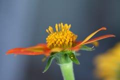 Fleur rouge, floraison de tournesol mexicain image libre de droits