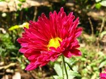 Fleur rouge-foncé d'aster de Chine un jour ensoleillé photos stock