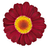Fleur rouge foncé de Gerbera d'isolement sur le blanc Photo libre de droits