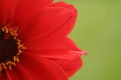Fleur rouge, fond vert Photo libre de droits