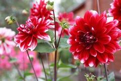 Fleur rouge gentille Photo stock