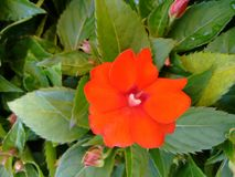 Fleur rouge - Impatiens Image libre de droits