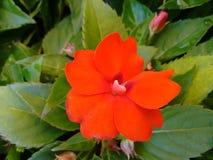 Fleur rouge - Impatiens Photo stock