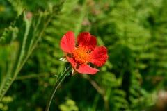 Fleur rouge intense sur un fond vert image stock