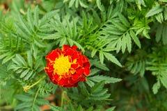 fleur Rouge-jaune de souci Images libres de droits