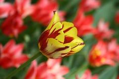 fleur Rouge-jaune de tulipe dans un parterre photographie stock libre de droits