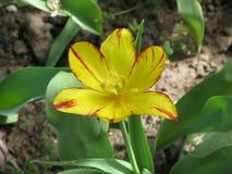fleur Rouge-jaune de tulipe dans un parterre images stock