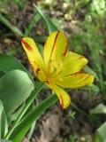 fleur Rouge-jaune de tulipe dans un parterre photo stock
