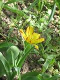 fleur Rouge-jaune de tulipe dans un parterre photographie stock