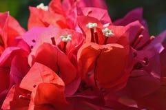Fleur rouge la Caraïbe Photographie stock libre de droits