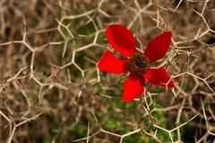 Fleur rouge parmi des piquants difficiles, Images libres de droits
