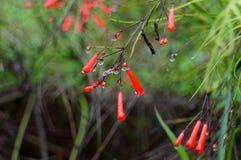 Fleur rouge pendant une douche de ressort Photographie stock