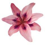 Fleur rouge-rose de lis d'isolement avec le chemin de coupure, sur un fond blanc beau lis pour la conception closeup photo libre de droits