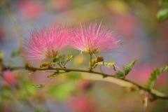 Fleur rouge-rose de souffle de poudre Photos libres de droits