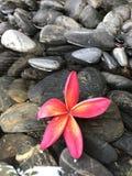 Fleur rouge sur des galets noirs Image libre de droits