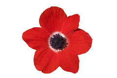 Fleur rouge sur le blanc Photo stock