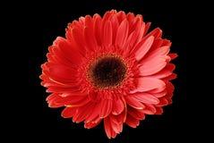 Fleur rouge sur le fond noir Images stock