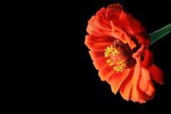Fleur rouge sur le fond noir Image stock