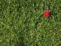 Fleur rouge sur le fond vert de haie Photos libres de droits