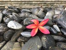 Fleur rouge sur les galets noirs 2 Photo libre de droits