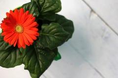 Fleur rouge sur un fond blanc? Image libre de droits