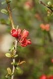 Fleur rouge sur une branche et un fond vert Images libres de droits