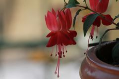 Fleur rouge triste image stock