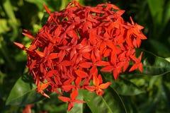 Fleur rouge tropicale images libres de droits