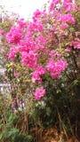 Fleur-roz stockbilder