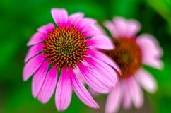 Fleur 'Ruby Star' de cône (purpurea d'Echinacea) Photo stock