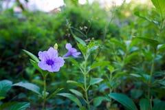 Fleur Ruellia images stock