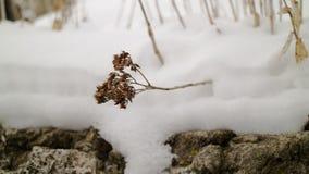 Fleur sèche dans la neige images stock