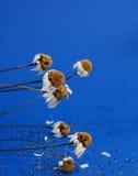Fleur sèche de camomille Photo libre de droits
