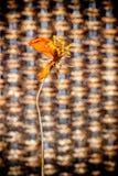 Fleur sèche de cosmos avec le sur brun d'osier de texture d'armure de travail manuel Images libres de droits