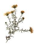 Fleur sèche de Michaelmas-marguerite européenne Photo stock