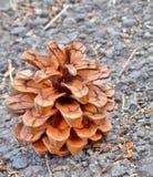 Fleur sèche de pin Photo libre de droits