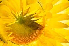Fleur sèche jaune en plan rapproché Image stock