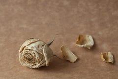 Fleur sèche par rose de blanc photographie stock libre de droits