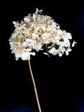 Fleur sèche sur le fond noir images stock