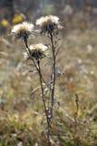 Fleur sèche sur un fond d'automne Photographie stock libre de droits