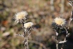 Fleur sèche sur un fond d'automne Photos libres de droits