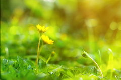 Fleur s'élevante de wedelia dans le style de vintage photo libre de droits