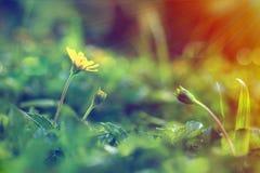 Fleur s'élevante de wedelia dans le style de vintage photo stock
