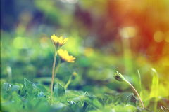 Fleur s'élevante de wedelia dans le style de vintage images libres de droits