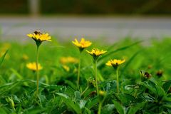 Fleur s'élevante jaune de wedelia image stock