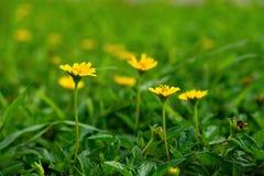 Fleur s'élevante jaune de wedelia photo stock
